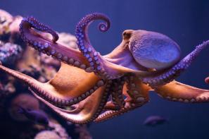 los-pulpos-segregan-una-sustancia-quimica-para-no-enredarse-con-sus-tentaculos_image_380