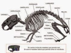 esqueleto hamster