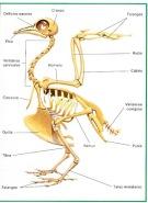el-esqueleto-de-un-ave