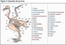 esqueleto-de-las-aves